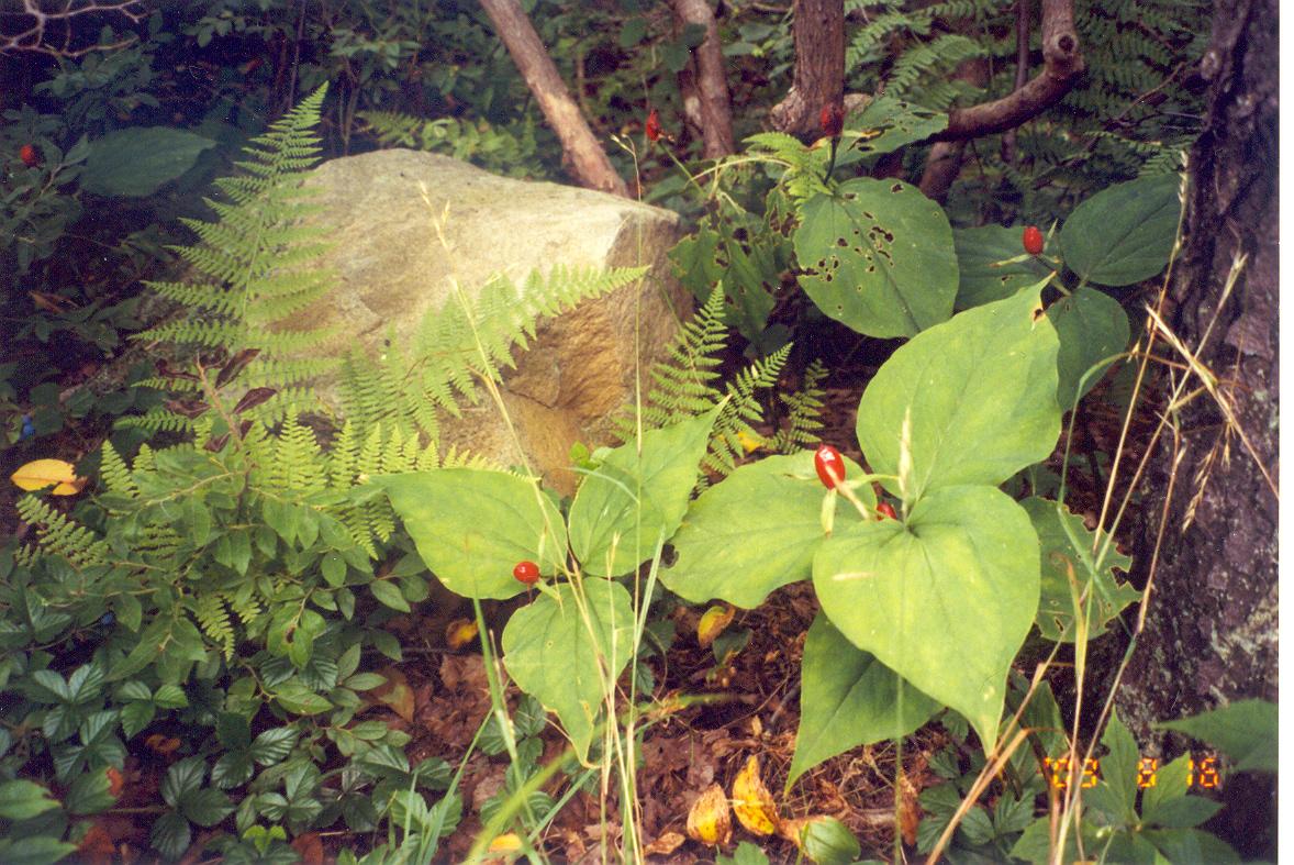 Ldsp-Natives, Trillium sp., Vaccinium c., Dennstadtia p., Ru