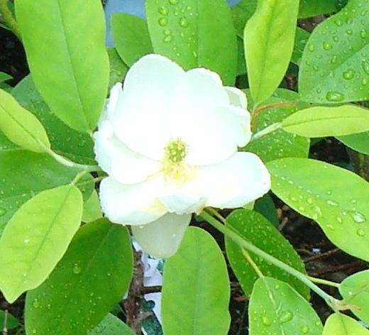 Magnoliavirginiana2