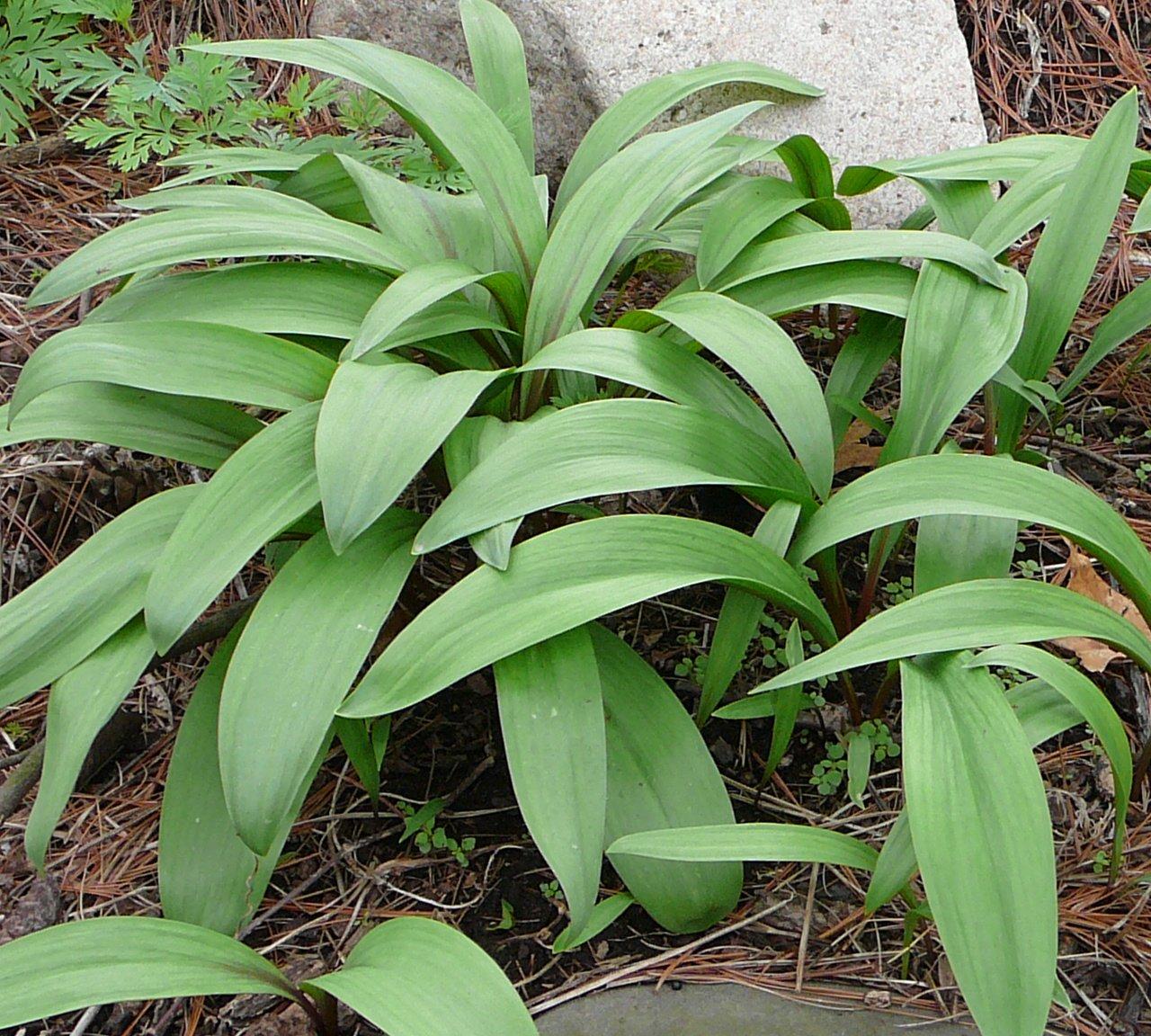 P-Allium tricoccum-6