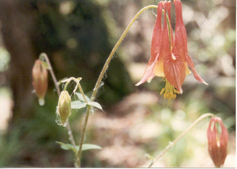 P-Aquilegia canadensis-2, 5-89
