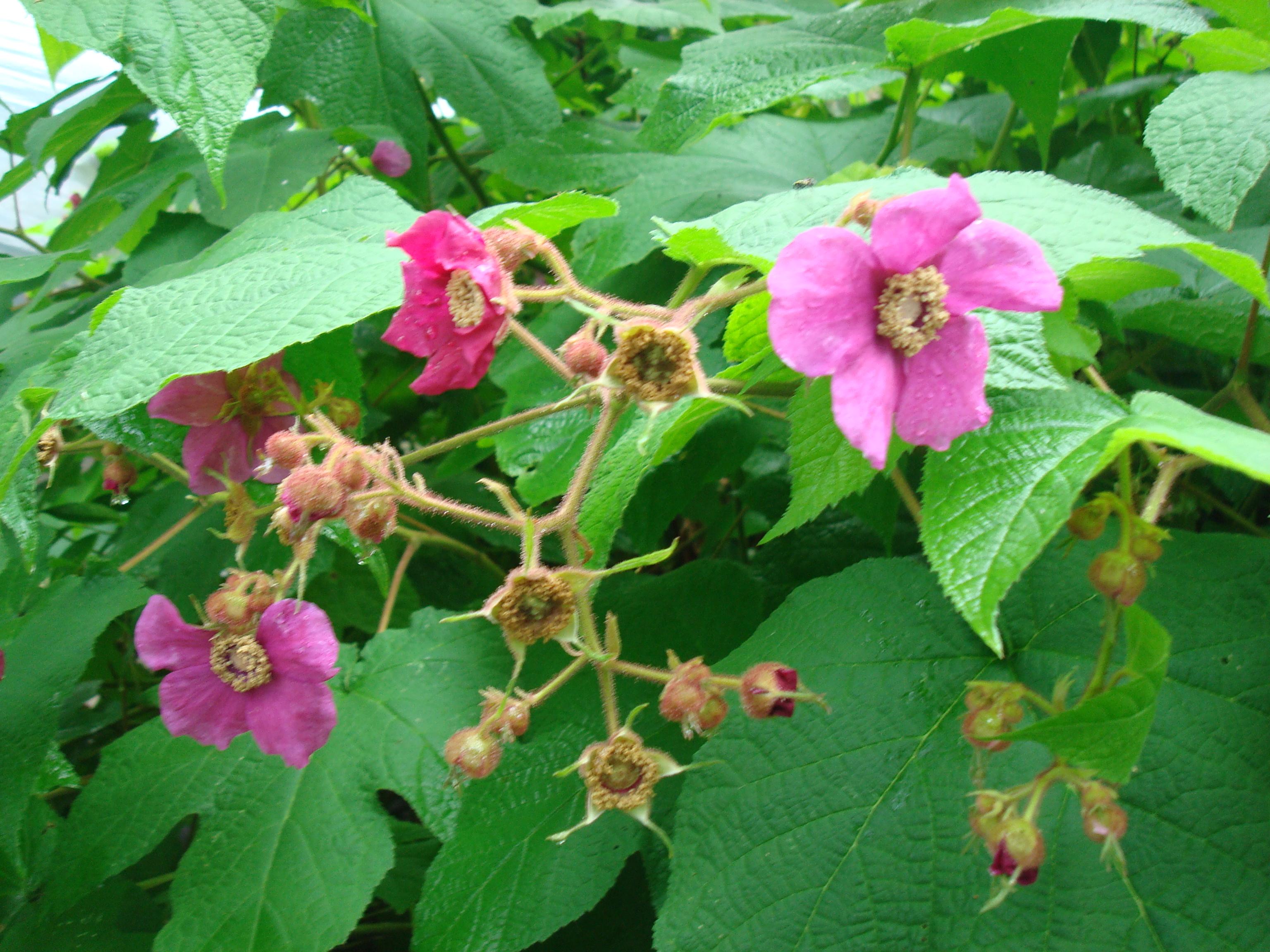 Rubusodorata1