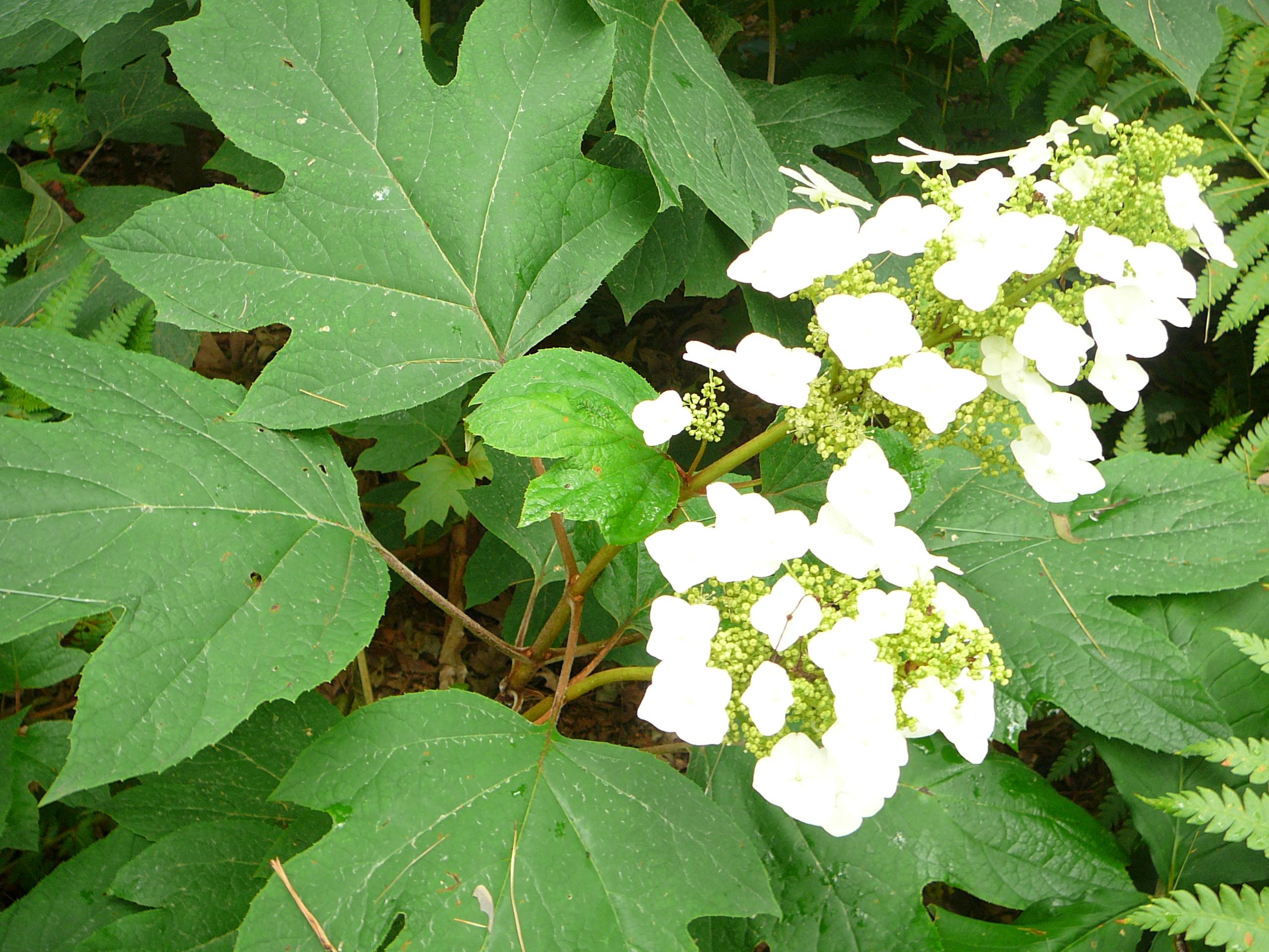 W-Hydrangea quercifolia-6