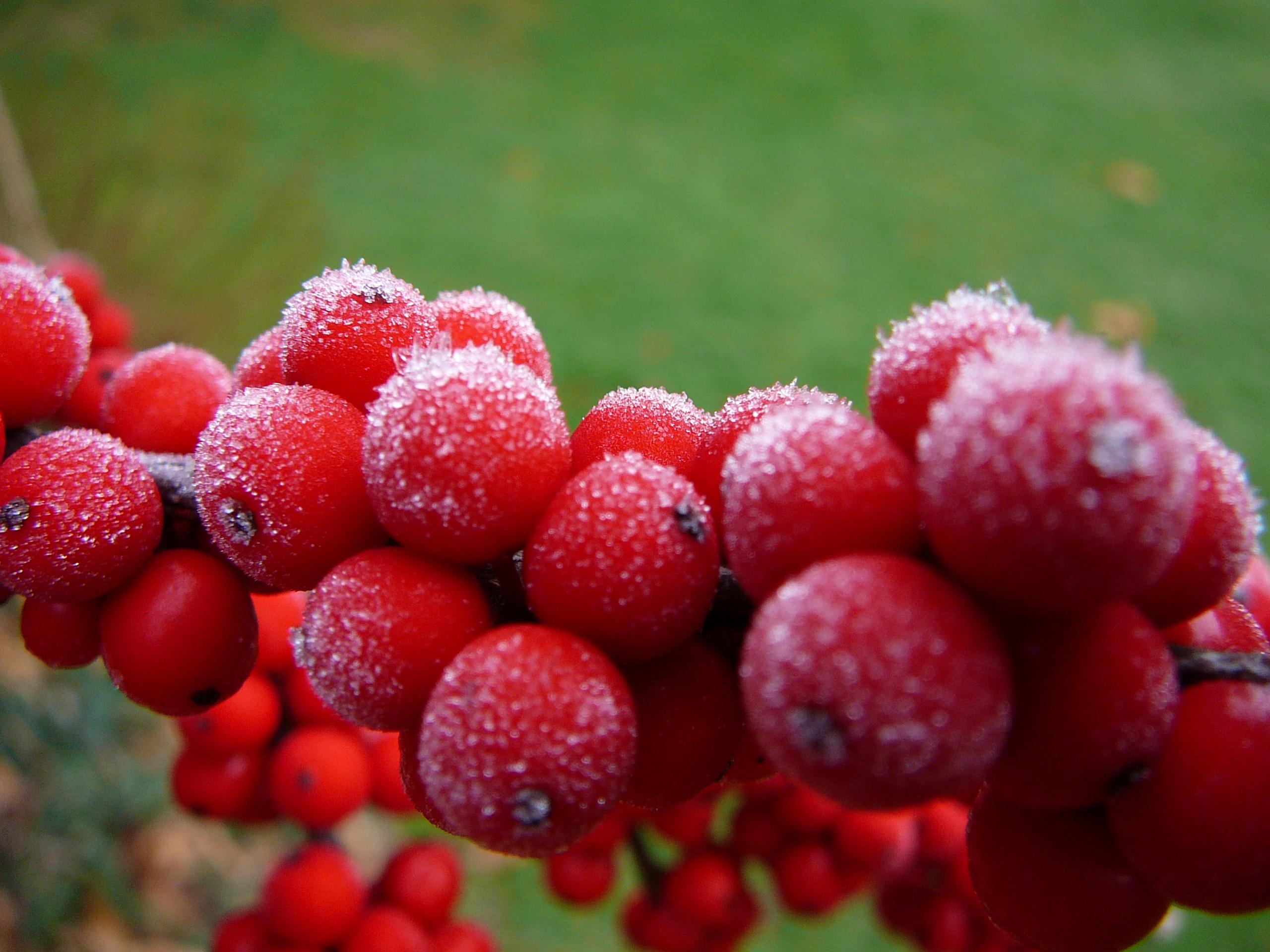 W-Ilex verticillata Winter Red-7
